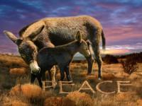 Peace Burros 2009